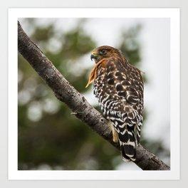 Red-shouldered Hawk Perched Art Print