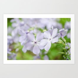 Soft Focus Phlox Carolina Botanical / Nature / Floral Photograph Art Print