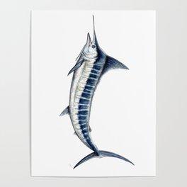 Blue Marlin (Makaira nigricans) Poster