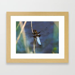 Broad-bodied Chaser Dragonfly Framed Art Print