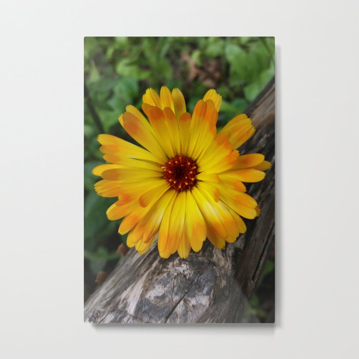 marigold on log Metal Print