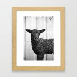 Gotland Lamb Framed Art Print