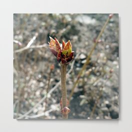 Early buds Metal Print