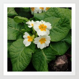 Little primula flower at the park Art Print