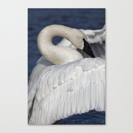 Swan Rising | Wildlife Photography | Birds Canvas Print