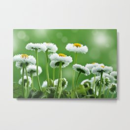 Daisy Flowers 094 Metal Print