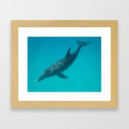 Beautiful Bottlenose Dolphin Near Bimini Framed Art Print