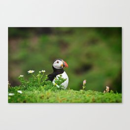 Puffin from Ireland  (RR 238) Canvas Print