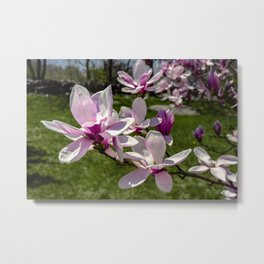Magnolia flowers in the backyard Metal Print