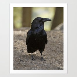 Raven - Yellowstone National Park, Wyoming Art Print