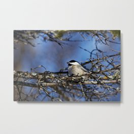 Black-capped Chickadee Holding a Seed Metal Print