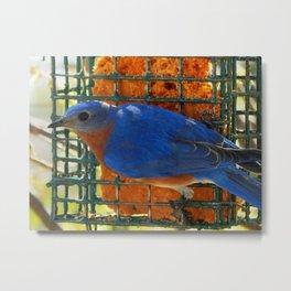 Bluebird lunch Metal Print