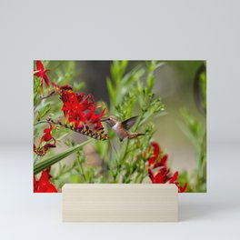 Rufous Hummingbird Feeding, No. 2 Mini Art Print
