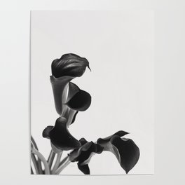 Black and White Cala Lily Study Poster