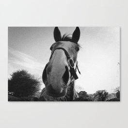 Horse from Ireland Canvas Print