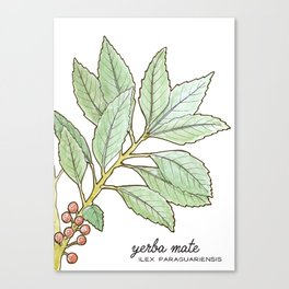 tea botanicals | Yerba Mate // South American herbal Canvas Print