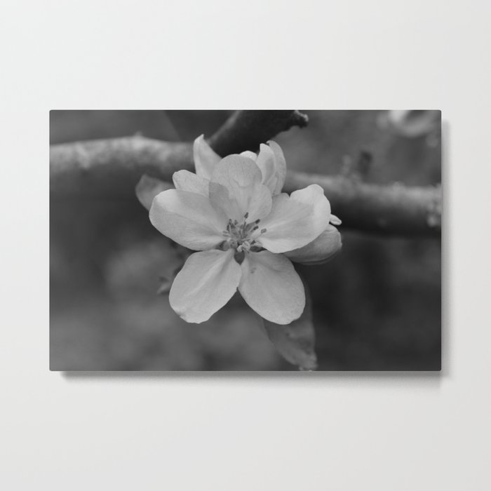 b&w apple blossom Metal Print