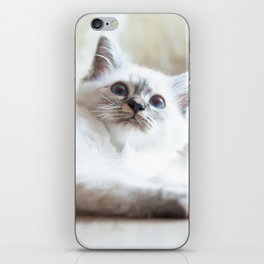 Portrait of white long hair birman cat with blue eyes. iPhone Skin