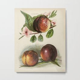 The fruit grower's guide  Vintage illustration of peach 2 Metal Print