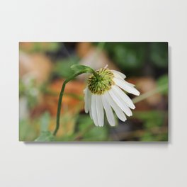 Marguerite with bowed head Metal Print