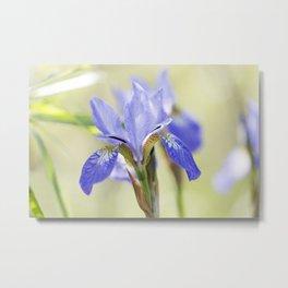 Northern Blue Flag Iris 4 Metal Print