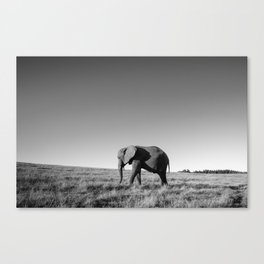 Lone female elephant walking along African savanna Canvas Print
