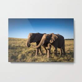 Two happy elephants walking together in African Savannah at sunset Metal Print