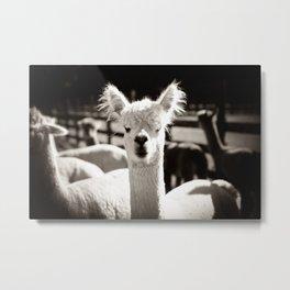 Tio Farm Alpaca Metal Print