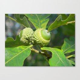 Green Acorns Canvas Print