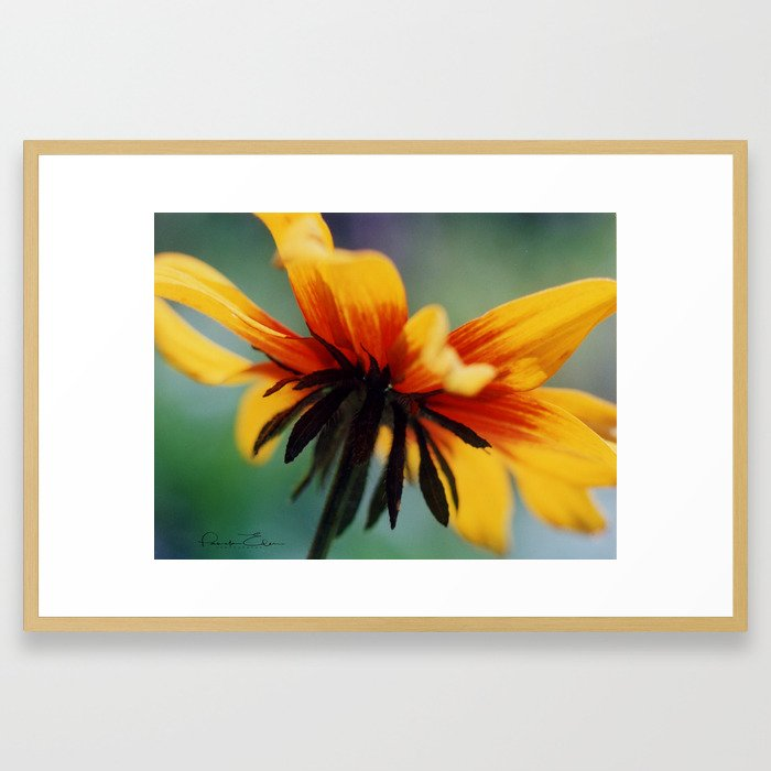 Bee's Eye view of a Black-eyed Susan Framed Art Print