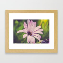 Soft African Daisy, Nature Photography, Flower Print, Floral Print, African Daisy Framed Art Print