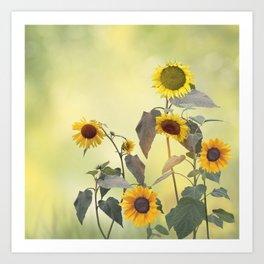 Image of Sunflowers blooming Art Print