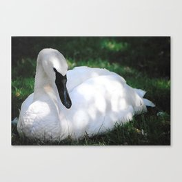 Trumpeter Swan at Rest Canvas Print