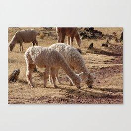 Puno Llamas Canvas Print