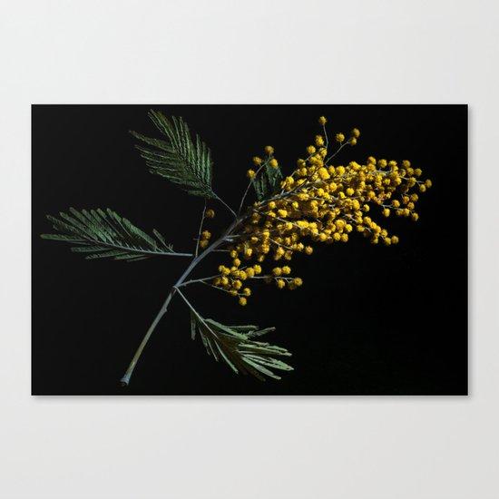 Silver Wattle Flowers Canvas Print
