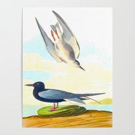 Black Tern John James Audubon Vintage Scientific Hand Drawn Illustration Birds Poster