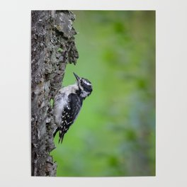 Downy Woodpecker! Poster