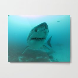 Great White Shark Carcharadon carcharias Metal Print