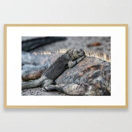 Galapagos baby marine iguana Framed Art Print