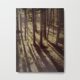 Pines in the morning light Metal Print