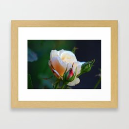 Blossoming Young and Tender Cream-Colored Cream Rose Flower Framed Art Print
