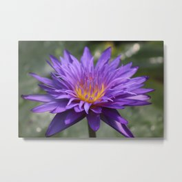 Purple And Yellow Water Lilies Metal Print