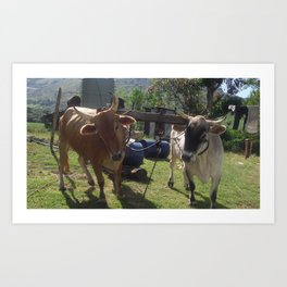 Cows angled  Art Print