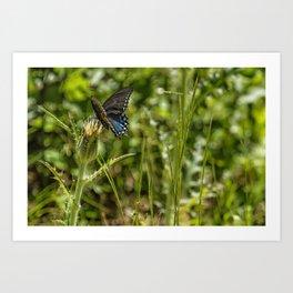 Black Swallowtail No. 2 Art Print