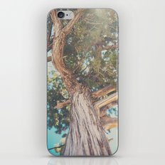 looking up through the leaves of the Juniper Tree ... iPhone Skin