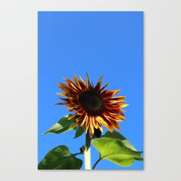 Sunflower, Hansville, WA Canvas Print