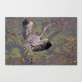 Great Blue Heron over Kelp  Canvas Print