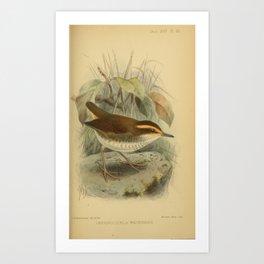 Bornean Stubtail orthnocichla whiteheadi14 Art Print