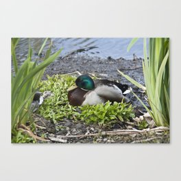 Quack goes the Duck Canvas Print
