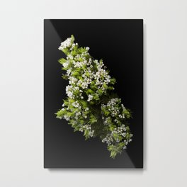 Diosma White Cape Flowers Metal Print